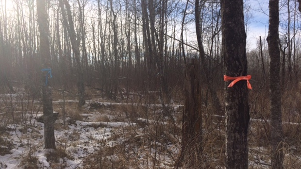 The wooded area the RCMP was seen at, according to area residents, following the discovery of human remains by a hunter in the R.M. of Tache. The remains have since been identified as Thelma Krull. (Nov. 12, 2018. Josh Crabb/CTV News.)