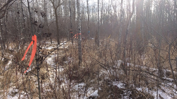 The wooded area the RCMP was seen at, according to area residents, following the discovery of human remains by a hunter in the R.M. of Tache. (Nov. 12, 2018. Josh Crabb/CTV News.)