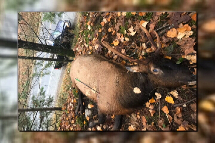 Graphic photo: The animal was killed by the arrow from a crossbow, which struck its right side beside the shoulder, damaging its lungs. (BC Conservation Officer Service)