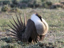 A male sage grouse is seen in this image provided by the U.S. Department of the Interior.