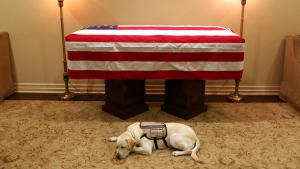 Sully the dog lies in front of George H.W. Bush's casket. (source: Twitter / @jgm41)
