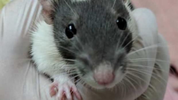 rats spca