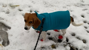 Coffee the beagle is ready for winter with three varieties of hooded jackets and this fleece sweater. (Chinmaya Sadangi)