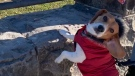 Coffee the beagle wearing his red parka. (Sadangi)