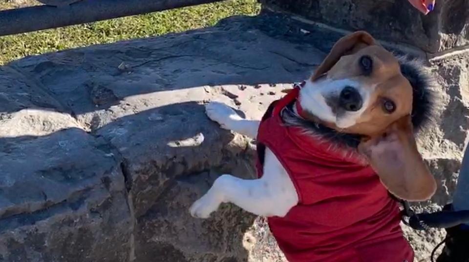Coffee the beagle wearing his red parka. (Sadangi)