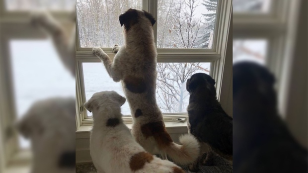 """The trio of Saint Bernard dogs watch moose through the windows at their new """"forever home"""" in Calgary. (EHS)"""