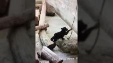 malcolm bear cub playing