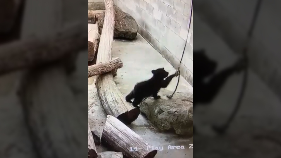 A rescued bear cub, seen here playing in an enclosure at North Island Wildlife Recovery Centre, died from accidental asphyxiation involving a rope, staff say. (Facebook)