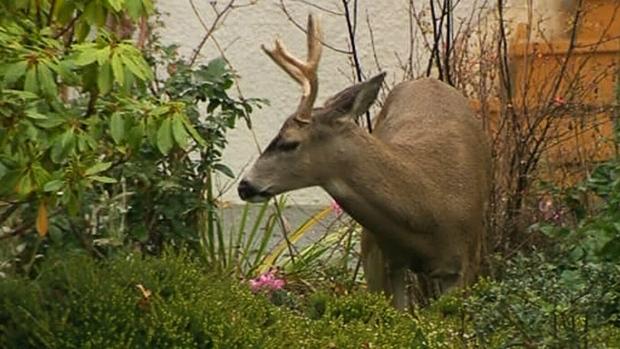 Is Oak Bay's deer problem getting worse?