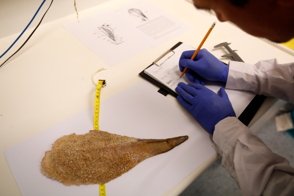 In this Wednesday, Nov. 7, 2018, Yiannis Issaris, marine ecologist and research associate at the Hellenic Center for Marine Research, takes measurements of a dead noble pen shell, or Pinna nobilis, in Anavyssos, south of Athens. (AP Photo/Thanassis Stavrakis)