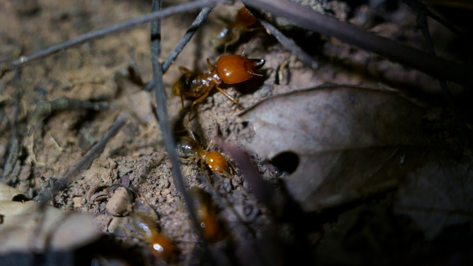 A soldier termite with large pincers stands guard while smaller worker termites gather dead leaves and cut them into pieces near Lencois, Brazil, Thursday, Nov. 22, 2018. (AP Photo/Victor R. Caivano)