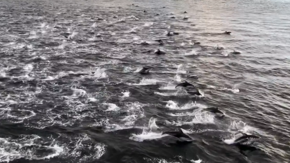 Henry Irizawa's stunning footage off an estimated 200 dolphins frolicking beside a BC Ferries vessel has taken off in popularity online. Dec. 4, 2018. (Facebook)