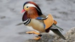 A Mandarin duck walks in Central Park in New York, Wednesday, Dec. 5, 2018. In the weeks since it appeared in Central Park, the duck has become a celebrity. (AP Photo/Seth Wenig)