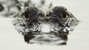 An alligator swims in the everglades waters at Holiday Park, Fla., Tuesday, Aug. 7, 2012. (AP Photo/J Pat Carter)