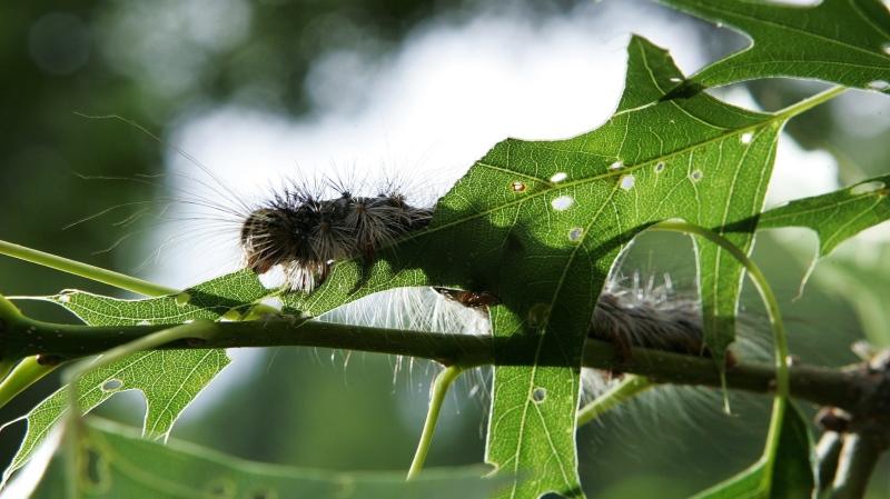 A gypsy moth caterpillar eats a leaf on a tree Tuesday, June 12, 2007, in Trenton, N.J. (AP / Mel Evans)