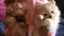 pomeranian puppies returned