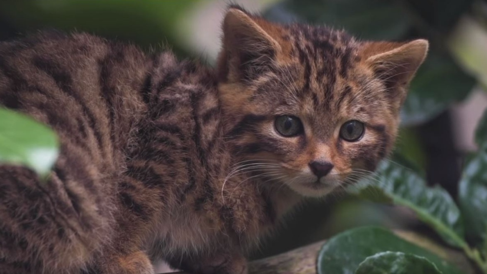 An extremely rare Scottish wildcat kitten has been caught on camera for the first time since being born in August at Chester Zoo, England. (Storyful)