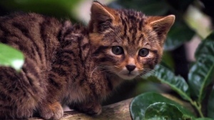 Scottish wildcat kitten makes zoo debut