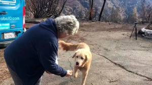 """In this Friday Dec. 7, 2018 image from video provided by Shayla Sullivan, """"Madison,"""" the Anatolian shepherd dog that apparently guarded his burned home for nearly a month, approaches his owner, Andrea Gaylord, as she was allowed back to check on her burned property in Paradise, Calif. (Shayla Sullivan via AP)"""