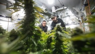 "Yan Boissonneault, left, and James Gallagher, licensed medical marijuana growers, are seen at a legal medical grow-op they oversee, in Mission, B.C., on Wednesday December 5, 2018. They operate a handful of small legal medical grow-ops in British Columbia and are among the ""craft"" producers who hope to use their skills in the fledgling recreational market by getting a new licence for microcultivation. THE CANADIAN PRESS/Darryl Dyck"