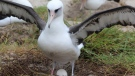 Wisdom, an albatross believed to be at least 68 years old and the world's oldest known seabird, has laid an egg. (Madalyn Riley / U.S. Fish and Wildlife Service Volunteer)