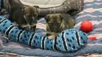 The six week old puppies were found in the parking lot of East Hills Costco on the afternoon of November 30. 2018.