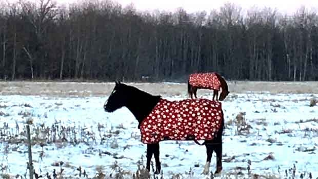Horses getting that holiday spirit. Photo by Cheryl Edwards.