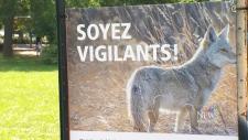 CTV Montreal: Montreal coyote problem