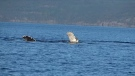 Caught on cam: Humpback plays with log