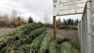 In this November 2018 photo, Christmas trees sit in a dirt lot at Silver Bells Tree Farm in Silverton, Ore., before being loaded onto a semi-truck headed for a Los Angeles tree lot. (AP Photo/Gillian Flaccus)