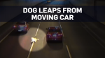 Dog jumps from moving car