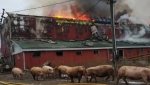 Flames moved quickly in the barn fire that left about 1200 piglets dead.