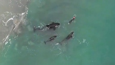 Orca pod approaches swimmer in New Zealand