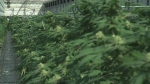 University growing pot on campus—for science