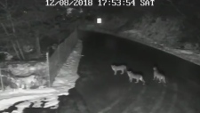 Cougar and two cubs caught on camera