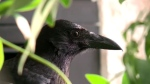 Mortimer the raven lives in Evangeline Mackinnon's home – despite provincial rules. (Daniel Shingoose/CTV Saskatoon)