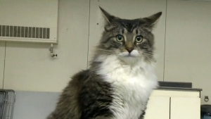 CTV Montreal: Long trip for cat