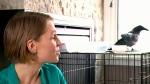 Woman saves wild raven, feeds it ham