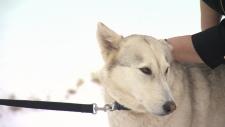 Found wolf dog