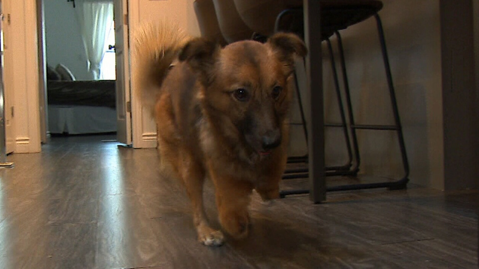 True, a rescue dog, had its two front paws cut off by an abusive owner. (CTV Toronto)