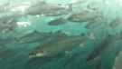 Salmon farms to shut down or move