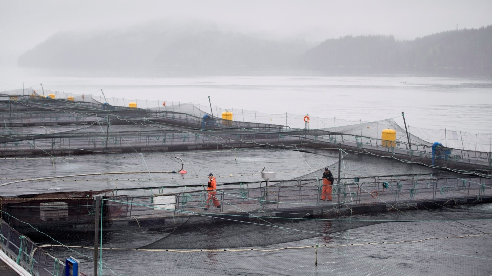 A fish farm is pictured during a DFO fish health audit near Campbell River, B.C. on Wednesday, Oct. 31, 2018. (THE CANADIAN PRESS /Jonathan Hayward)