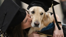 """Griffin"" Hawley, the Golden Retriever service dog"