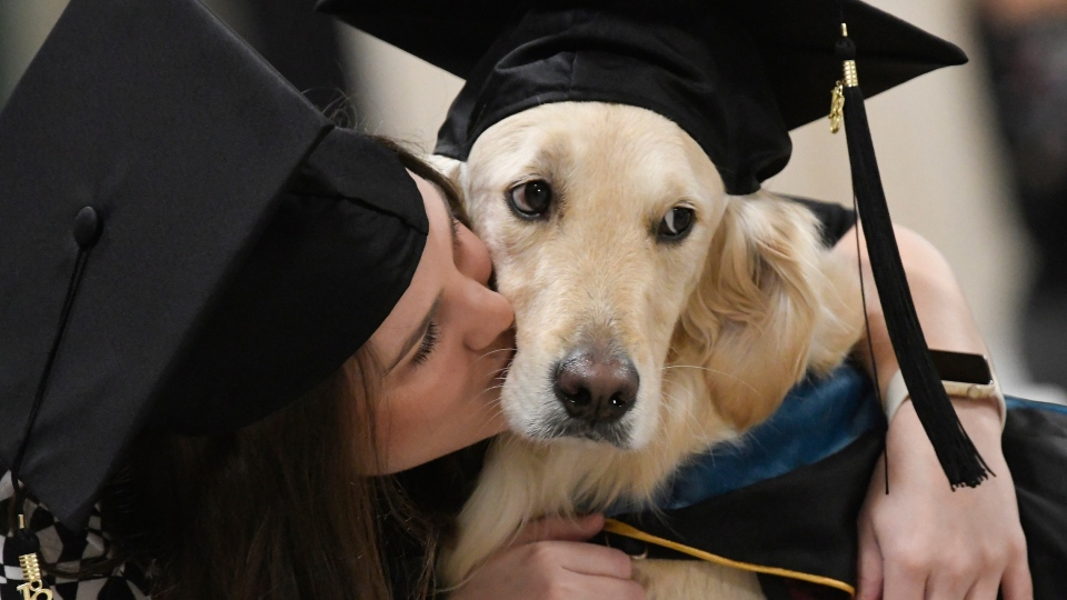 """""""Griffin"""" Hawley, the Golden Retriever service dog, is given a congratulations hug by his owner Brittany Hawley after being presented an honourary diploma by Clarkson, during the Clarkson University """"December Recognition Ceremony"""" in Potsdam, N.Y., Saturday Dec. 15, 2018. (AP Photo/Steve Jacobs)"""