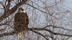 A bald eagle from St. Vital Park. Photo by: David Loewen