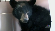 Orphaned and injured bear cub recovers in Sudbury