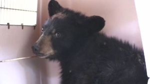 A Sudbury wildlife refuge is caring for an orphaned and injured black bear cub that was hit by a train and rescued by rail workers. Alana Everson reports.