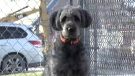 One of thirty dogs and puppies surrendered to the Humane Society of London & Middlesex is seen in London, Ont. on Tuesday, Dec. 18, 2018. (Jim Knight / CTV London)