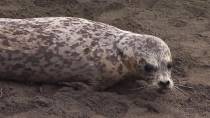 Harbour seals returned to wild