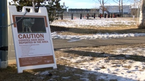 Warning signs in Airdrie's Nose Creek Park, the site of the Festival of Lights, after two children were attacked by a coyote in separate incidents